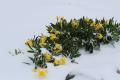Daffodils 2017